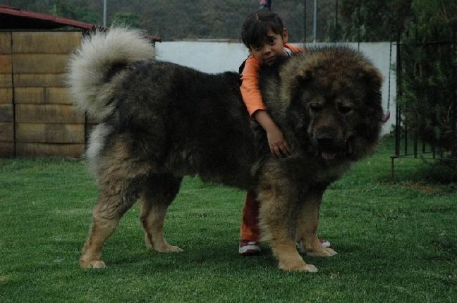 تحميل فيديو الكلب القوقازى caucasian صور