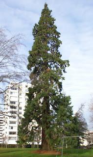 menziessequoia.jpg