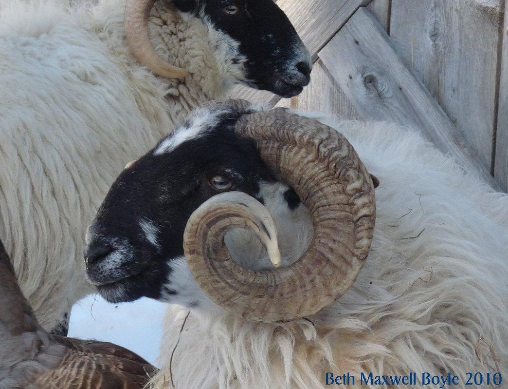hill shepherd shepherds sheep and monks