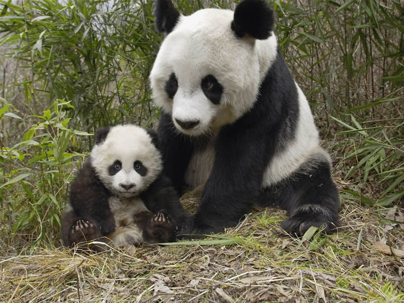 [panda-bear-d.jpg]
