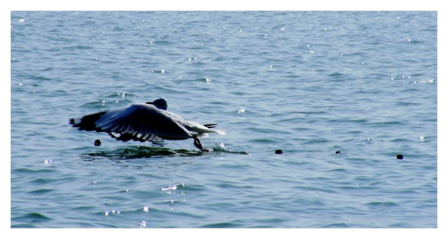 Saw a lot of migratory birds on Chilka Lake. This is a Mallard taking off. . .