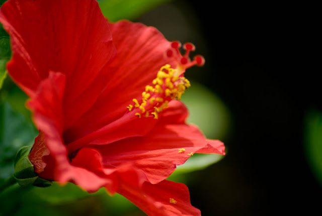 A close-up of a red hibiscus