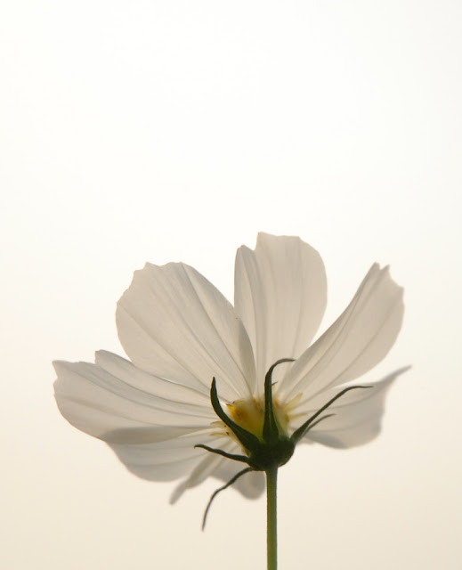 A white flower against a white sky . . .