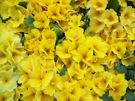 Yellow Flower Saidai