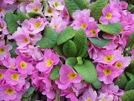 Purple Flower Saidai