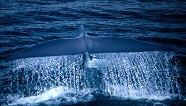 Blue Whale, Fluke 2