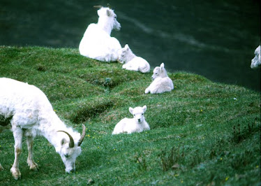 Dall Sheep, ewes and lambs