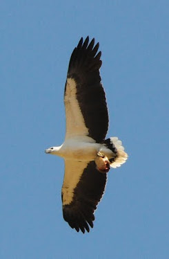 White-bellied Sea Eagle, with turtle shell