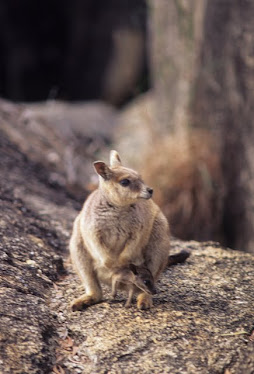 Marreba Rock Wallaby