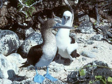 Blue-footed Booby, adult and immature