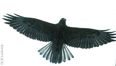 Galapagos Hawk, overhead