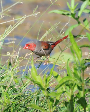 Crimson Finch, female