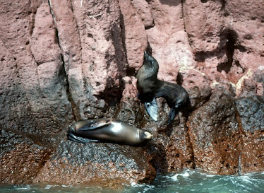Guadalupe Fur Seal and California Sea Lion