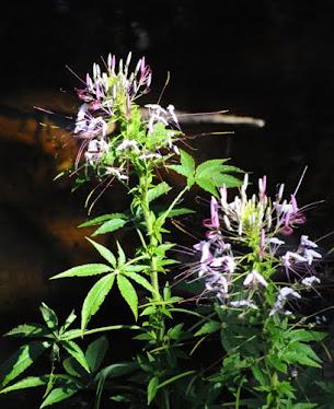Tarenaya hassleriana- Brassicaceae
