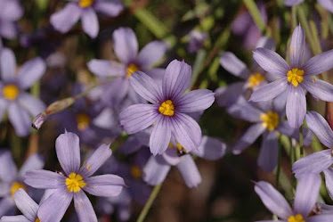 Blue-eyed Grass, Iridaceae