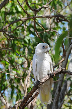 Little Corella - Cockatoo