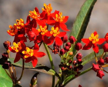Tropical Milkweed, Asclepias curvassica