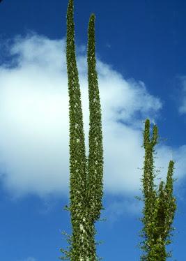 Boojum, Fouquieria columnaris