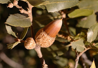 California Live Oak acorn