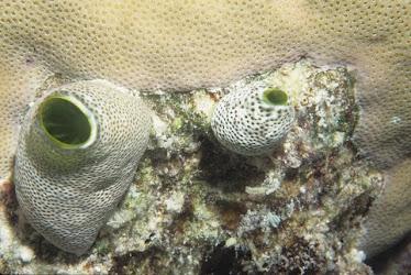 Sea Squirts - Corythoichthys sp.