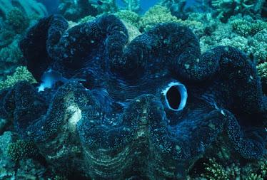 Giant Clam 7