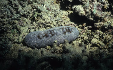Leopard Sea Cucumber 1