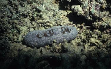 Leopard Sea Cucumber 1