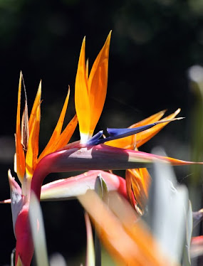 Yellow Bird-of-paradise