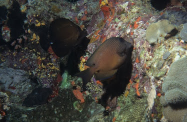 Brushtail Tang and Twospot Bristletooth