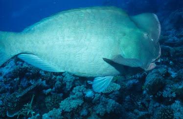 Buffalo Parrotfish 3