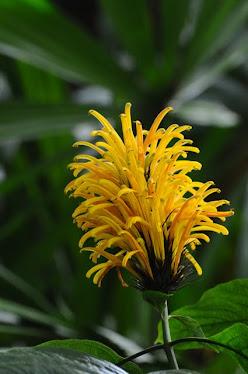 Justicia aurea-2 Acanthaceae
