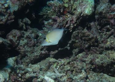 Scimitar Triggerfish