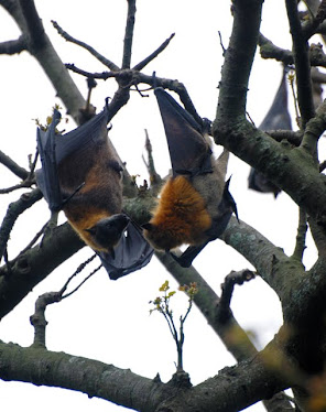 Grey-backed Fruit Bat 6