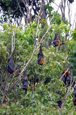 Grey-backed Fruit Bat 7