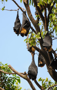 Spectacled Fruit Bat 1