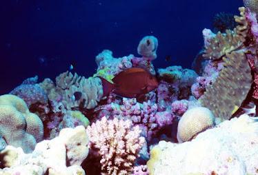 Dark Surgeonfish