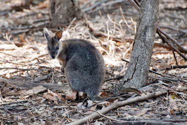 Tammar Wallaby 2