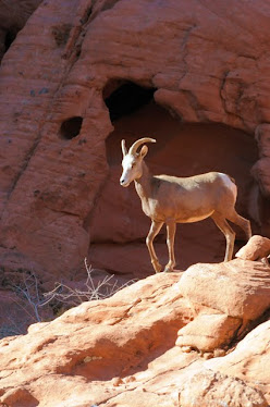 Desert Bighorn, ewe