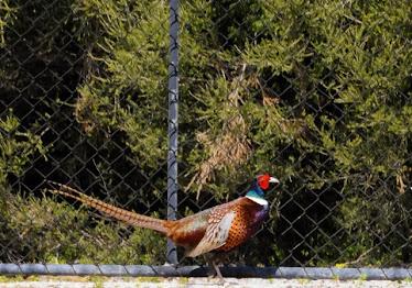 Common/Ring-neck Pheasant 232