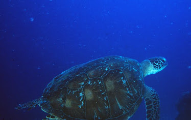 Green Sea Turtle #3
