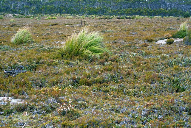 Tasmanian Heath Vegetation 3