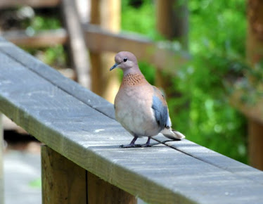 Laughing Dove #2