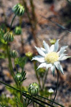 Rhodanthe anthemoides 012