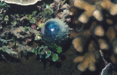 Sailor's Eyeball, Unicelluar Marine Alga with Cellulose casing