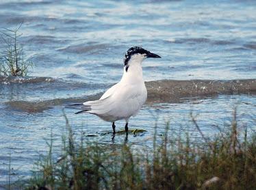 Gull Billed Tern #2