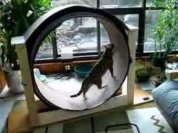 mainan roda kucing, catnip, kucing bengal latihan