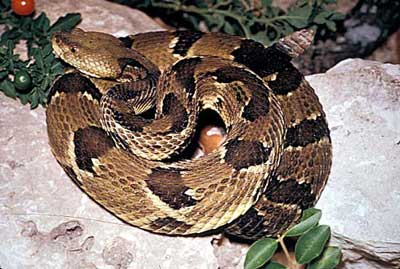 how to tell the age of a rattlesnake