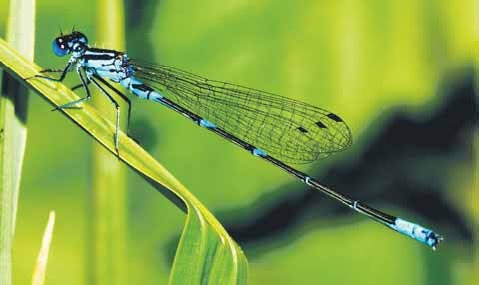 external image Why+the+humble+dragonfly+can+help+curb+dengue.jpg