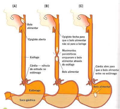 Estômago - Digestão, Absorção e outros problemas