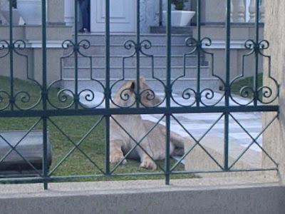 Cão de Guarda em Curitiba, é coisa do passado! Alguns preferem uma Leoa